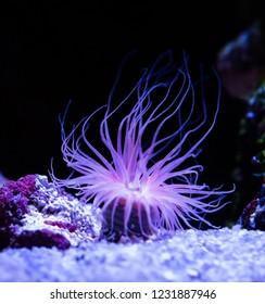 beautiful sea anemone lighting up in purple blue and pink vibrant colors aquatic underwater ocean animal plant