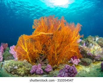 Beautiful Sea Fan in Thailand