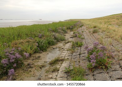 beautiful sea lavender plants in the salt marsh aong river scheldt next to the sea dyke in zeeland, holland in summer