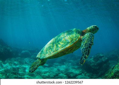 Beautiful Sea Turtle swimming along the reef in the Hawaii Islands