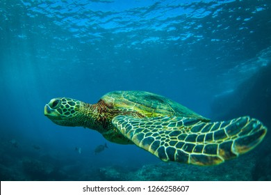 Beautiful Sea Turtle swimming along the reef in the Hawaii Islands