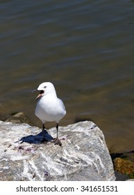 A beautiful seagull   adult  seabirds of family Laridae in sub-order Lari   standing   between  granite rocks at Bunbury's old harbour Western Australia  in  early spring.