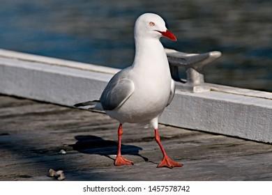 Beautiful Seagull closeup on a Waterfront timber marina/dock. Lake Macquarie, Australia.