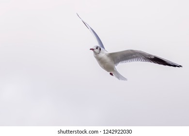 Beautiful seagull in flight against a white background