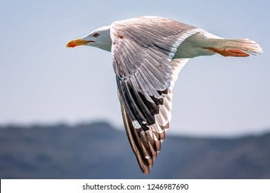 Beautiful seagull flying on a close-up shot