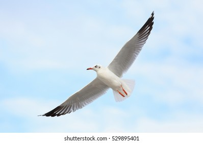 Beautiful Seagull flying in the sky.