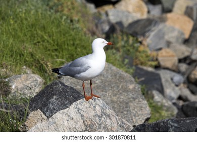 A beautiful seagull   seabird of family Laridae in sub-order Lari  protecting   its nest  between  granite rocks at Bunbury old harbour Western Australia hatching out speckled brown chicks  in winter.