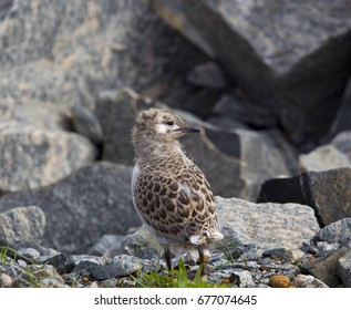 A beautiful seagull   seabird of family Laridae in sub-order Lari  young  brown speckled newly hatched chick  is standing on the bare granite rocks on a  cold winter afternoon waiting for its mother.