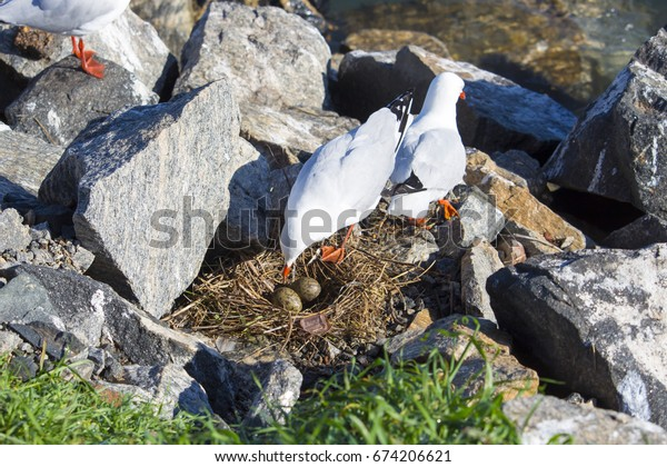 A beautiful seagull seabird of family Laridae in sub-order Lari is near  its nest between  granite rocks at Bunbury's old harbour Western Australia with two speckled  brown eggs to hatch out.