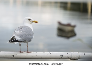 Beautiful seagull is sitting in port area. Seabird closeup, in a harbor, looking into a camera.