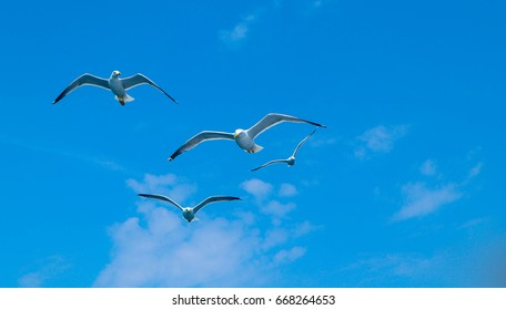 Beautiful seagulls flock soars in the bright summer blue sky. Three seabirds at the clean sky background, symbol of freedom.