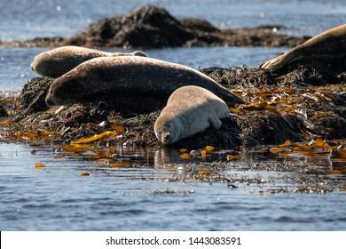 Beautiful seals lying on the shore among seaweed enjoying sunny weather