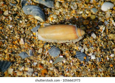 The beautiful Seashells of the Outer Banks Lay Nestled Among the Pristine Beaches