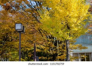 Beautiful seasonal colorful trees with japanese Lamp post and blue sky landscape in autumn style at Kanazawa, Ishikawa, Chubu, Japan