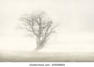 Beautiful seasonal summer photo. Misty day. Large amounts of fog surrounds a rugged tree in the middle of a meadow/paddock.