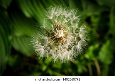 Beautiful seeding dandelion flower with dark moody lighting