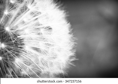 Beautiful seeding dandelion flower with shallow focus in macro closeup
