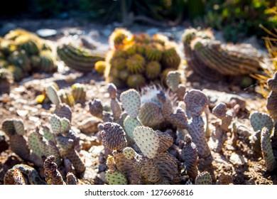Beautiful selective focus close-up top-view shot on blooming wild desert cactus, and succulents garden