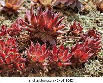 Beautiful Sempervivum succulent plant, outdoor decorative plant.