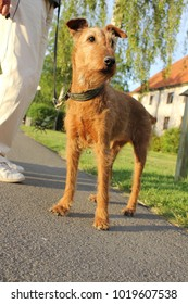 Beautiful senior brown red fox terrier out on a walk in a leash with owner a sunny summer day.