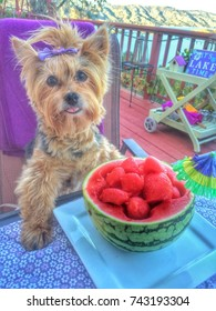 A Beautiful senior Yorkshire Terrier with a purple topknot bow sitting at a dining table with a watermelon bowl for lunch and overlooking a beautiful lake