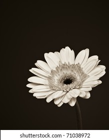 Beautiful sepia toned Gerbera daisy flower.