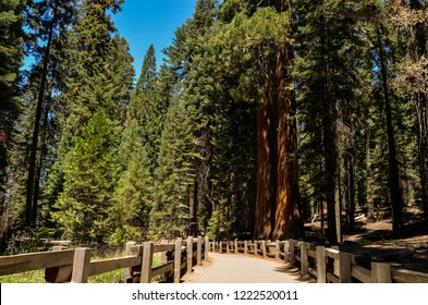 Beautiful sequoia forest on a sunny day in Sequoia National Park, California