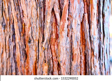 Beautiful sequoia trees texture background in Yosemite National Park in California.
