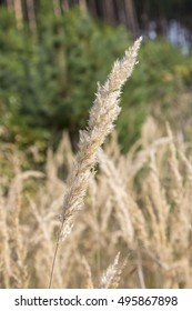 Beautiful serene waving reed in the sunlight