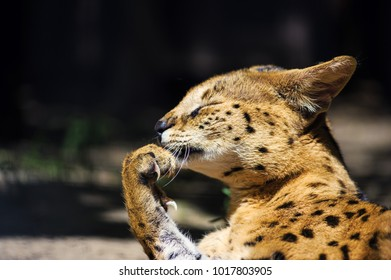beautiful serval cat
