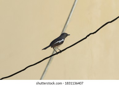 Beautiful  shama Birds perched on wires in home