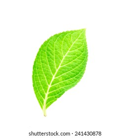 beautiful shape of green leaf on white background