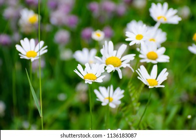 Beautiful Shasta Daisies in bloom growing in the wild in Duck Mountain Provincial Park, Manitoba, Canada