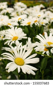Beautiful Shasta daisy flower
