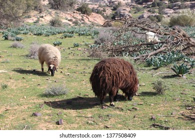 Beautiful sheeps grazing on the pasture in Wadi Dana, Dana Biosphere Reserve, Jordan
