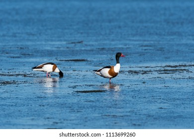 Beautiful Shelduck couple searching for food by the coast at the swedish island Oland in the Baltic Sea