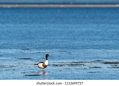 Beautiful Shelduck standing by the coast at the swedish island Oland in the Baltic Sea
