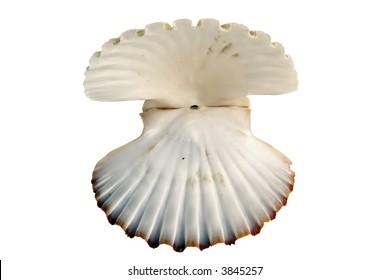beautiful shell isolated on white background