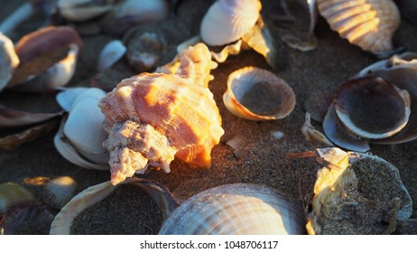 Beautiful shells on sunset by the beach in yellow colour. Sand is filling shells and sun reflects light on big shell. Yellow, white and orange shells are in sand by the beach.