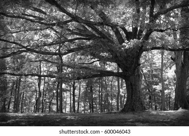 beautiful sheltering tree in black and white