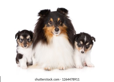 beautiful sheltie dog with two puppies posing on white