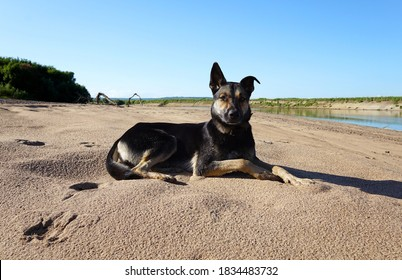 A beautiful shepherd dog lies on the sand by the river and looks into the frame