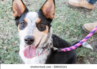 A beautiful shepherd dog at a park sitting on the grass looking up happy with tongue out on a colorful leash
