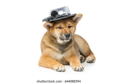 Beautiful shiba inu puppy in grey hat