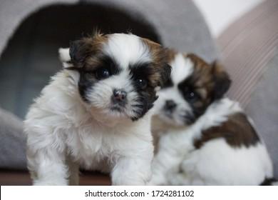 Beautiful Shih-Tzu mini puppy dogs.