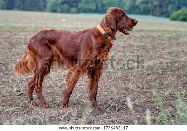Beautiful, shiny Irish Setter Pointer stands attentively on the field and keeps his practice ball in his snout.