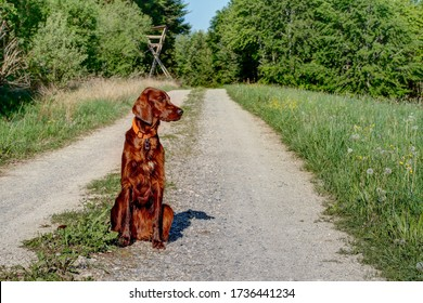 A beautiful, shiny red Irish Setter Pointer sitting on the gravel road in the hunting ground in front of the hunter's high seat.