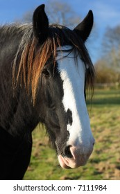 Beautiful shire or draft horses head with a clear blue sky in a field.