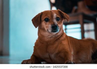beautiful shitzu and dachsund breed