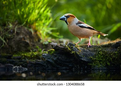 A beautiful shot of a bird with a big beak. The hawfinch (Coccothraustes coccothraustes) by the water. Wildlife photo from Czech republic